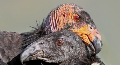 Condor Love